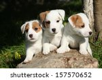 Stock photo gorgeous puppies of jack russell terrier in the garden 157570652