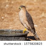 Coopers Hawk Sitting On A Water ...