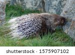 The crested porcupine (Hystrix cristata) also known as the African crested porcupine, is a species of rodent in the family Hystricidae found in Italy, North Africa, and sub-Saharan Africa.