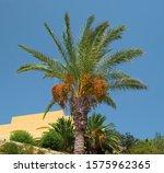 Date Palm  Botanical Name...