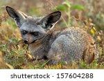 portrait of a bat eared fox in... | Shutterstock . vector #157604288