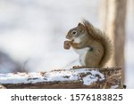American Red Squirrel ...