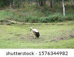 White European Stork  Ciconia...