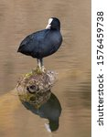 natural black coot (fulica atra) standing on branch, mirrored in water