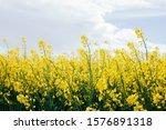 Blooming Rapeseed Fields...