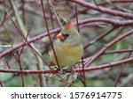 Northern Cardinal Female Bird ...