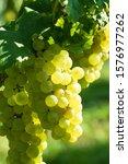Green Grape In The Wine Yard