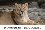 portrait lioness basking in the ... | Shutterstock . vector #1577000362