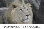 portrait lion basking in the... | Shutterstock . vector #1577000368