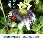 Bumblebee Is The Male Of The...
