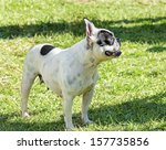 Small photo of A small, young, beautiful, black and white Boston Terrier dog standing on the lawn. Boston Terriers are highly intelligent and easily trainable.