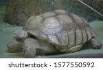 sulcata tortoise takes a shower ... | Shutterstock . vector #1577550592