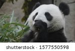 panda eat juicy bamboo branches ... | Shutterstock . vector #1577550598