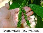 Piper Nigrum Fresh Green Pepper ...