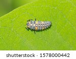 The Larva Of Coccinella...