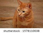 Unique  Cross Eyed  Ginger Cat...