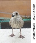 A Juvenile Herring Gull With...