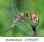 Dragonfly Four Spotted Chaser ...