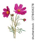 Cosmos Flower Pink Color...