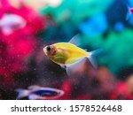 Small photo of Aquarium fish ternary closeup. Bright yellow fish ternary caramel. Decorative fish. Genetically modified aquarium fish.