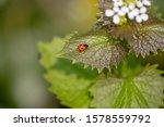 Single Ladybird On A Green Leaf ...