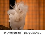 A White Pigeon Is Posing For A...