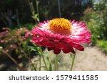 Xerochrysum Bracteatum  Also...