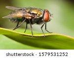 Closeup of a blowfly on a leaf