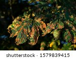 buckeye leaves in autumn with the ermine moths