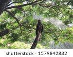 Bird Photo   Kite On A Tree...