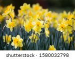 Flowering Daffodils In Focus In ...