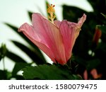Pink Hibiscus Against A...