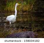 White Egret Looking At An...