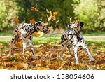Two Dalmatian Dogs Playing Wit...