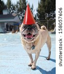 a pug looking at the camera on a pool deck with a party hat on - stock photo