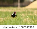 Small photo of The red wattled lapwing is an Asian lapwing or large plover, a wader in the family charadriidae. Like oyher lapwings they are ground birds that are incapable of perching.