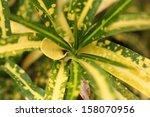 Detail Of Croton Leaf