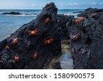 Sally Lightfoot Crabs  Grapsus...