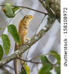 Small photo of colorful wild lizard (Agamidae) on tree