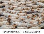 Flock Of Drenthe Heath Sheep...