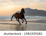 Dark Bay Horse Galloping In Th...