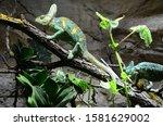 Green Iguana Sleeping On The...