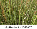 Stalks of Primitive Bamboo-Like Grass Plant - stock photo