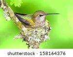 Anna's Hummingbird Sitting On...