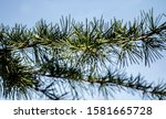 Green Spruce Branches In The...