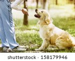 Golden Retriever Outdoor...