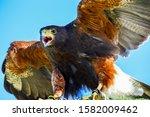 Harris Hawks On The Hunt For...