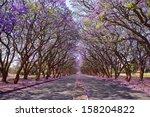 Blooming Jacaranda Trees Linin...