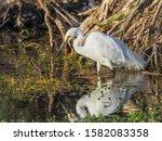 A Little Egret Stalking Fish At ...