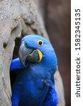 The Hyacinth Macaw ...